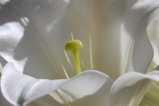 Makro zdjęcie słupków białej lilii, płatków pręcików w słońcu
