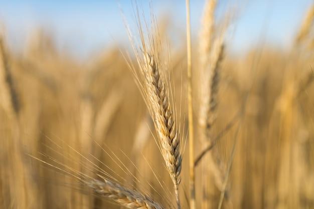 Makro złotej przyprawy pszenicy