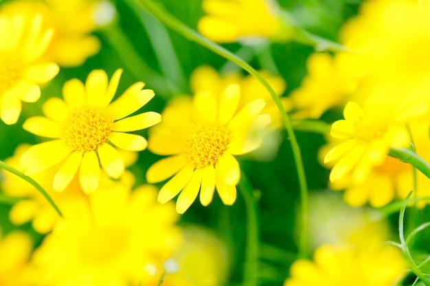 Makro żółtego kwiatu - złoty marguerite - żółty rumianek [anthemis tinctoria]
