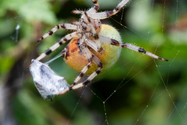 Makro żółty duży pająk w sieci zjada swoją zdobycz. aranyella to rodzaj pająków tkackich z rodziny araneidae.