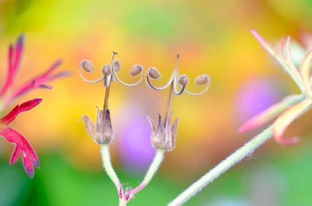 Makrofotografia niektórych dzikich owoców geranium (geranium sp), które wypuściły nasiona