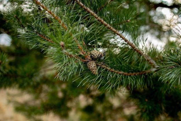 Makrofotografii roślin. gałęzie iglaste z młodymi pąkami wyglądają jak kwiaty. gałąź sosny z szyszkami na wiosnę.