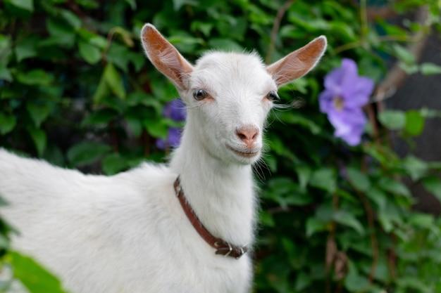 Mała biała koza w ogrodzie w pobliżu krzaka kwiatów