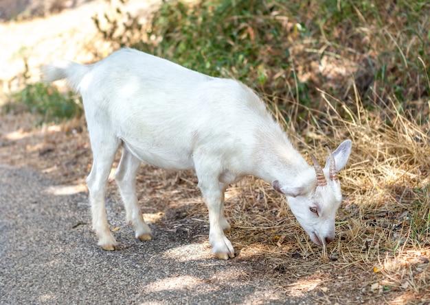 Mała biała kózka je mokrą trawę.