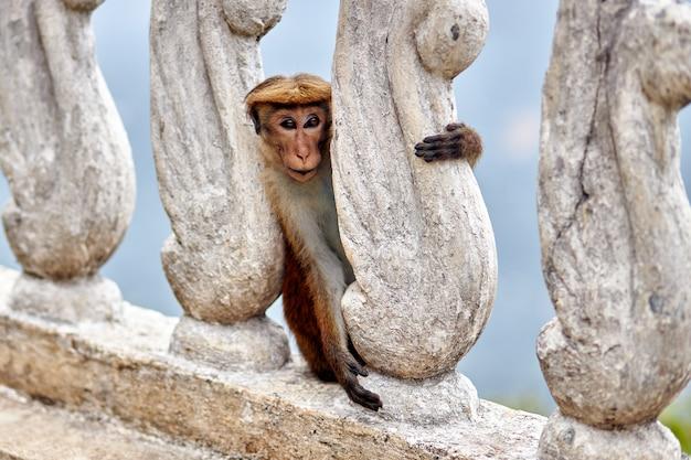 Mała brąz małpa ściska kamiennego ogrodzenie