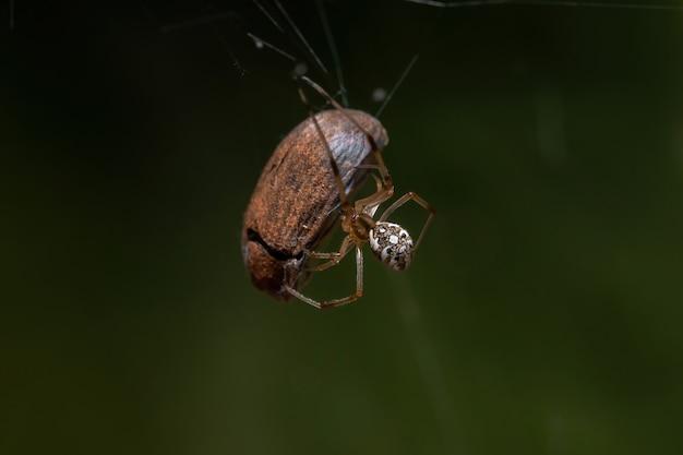 Mała brązowa wdowa z gatunku latrodectus geometricus polująca na chrząszcza