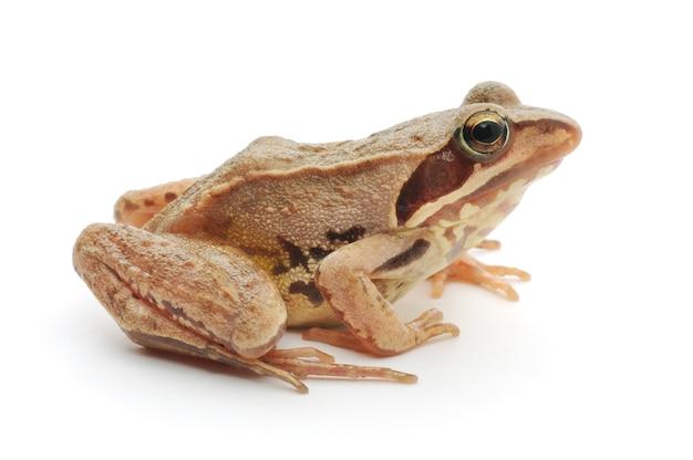 Mała brązowa żaba na białym tle