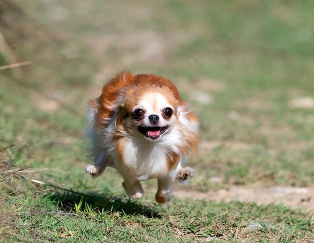 Mała chihuahua biegająca w naturze