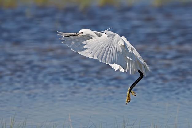 Mała czapla biała jest filmowana w powietrzu ze złożonymi skrzydłami