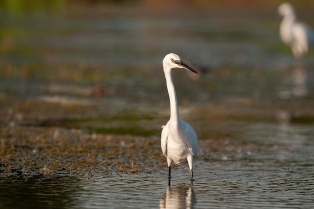 Mała czapla egretta garzetta na jeziorze. ścieśniać.