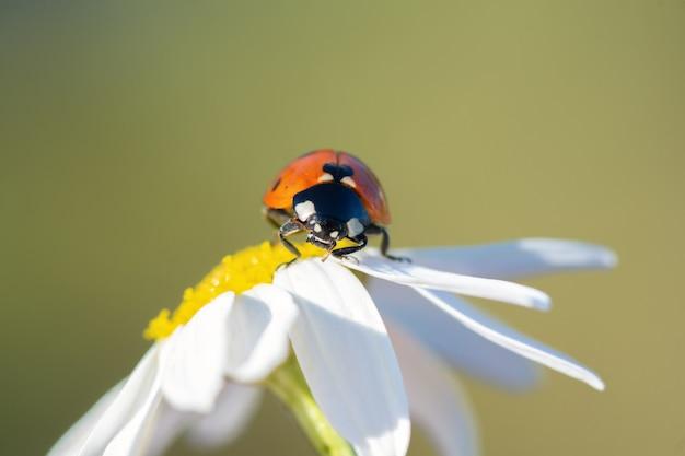 Mała czerwona biedronka na kwiat daisy z bliska