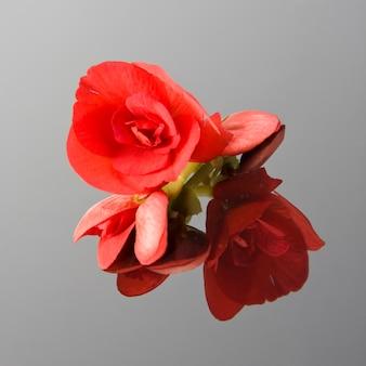 Mała czerwona róża na lustrze