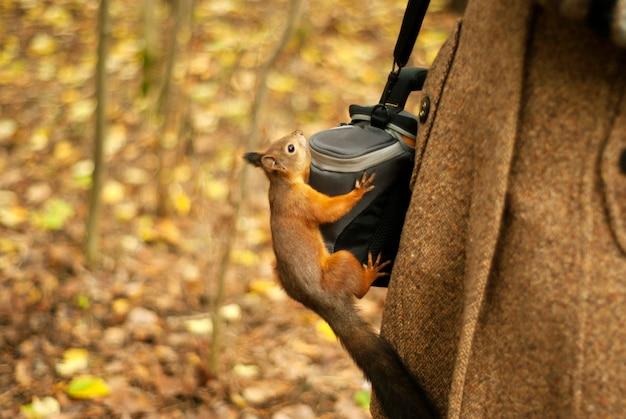 Mała czerwona wiewiórka w jesiennym parku wdrapała się na torbę po aparat