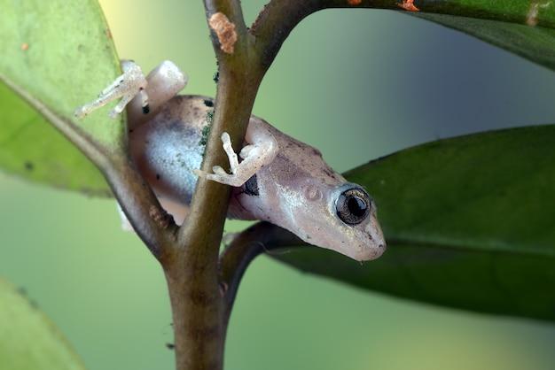 Mała czerwona żaba drzewna siedząca na liściu