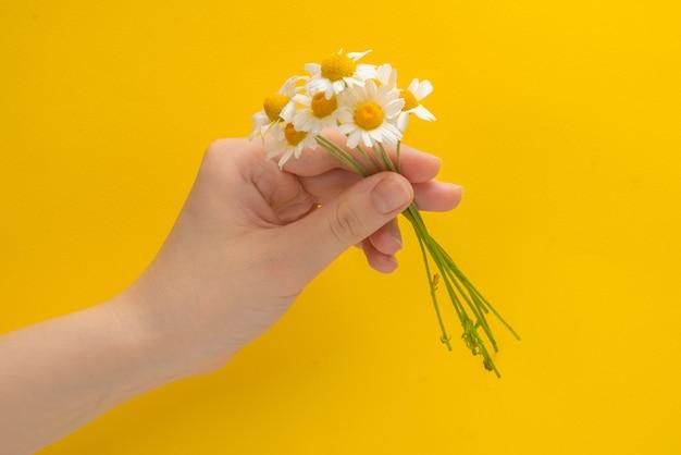 Mała daisie w kobiecej dłoni na żółto