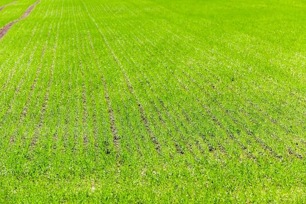 Mała droga, rowki przechodzące przez pole, na którym rośnie pszenica.