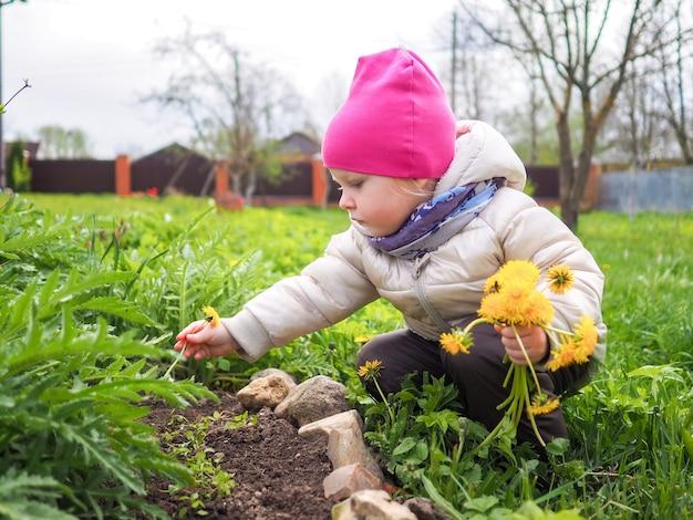Mała dziewczynka w ciepłej kurtce i różowym kapeluszu zbiera żółte dmuchawce