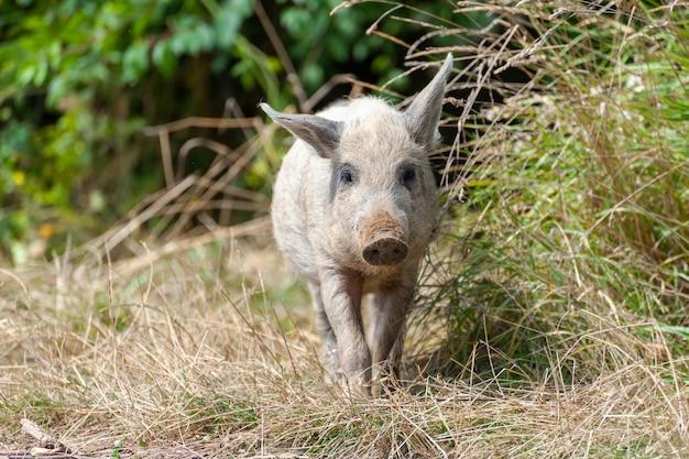 Mała dzika świnia w lesie. brudny. dzika świnia w letnim lesie