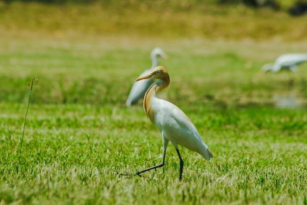 Mała egret zebrała się na trawniku