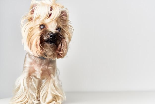 Mała fryzura dla psa dla studia zwierząt