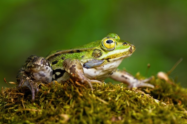 Mała jadalna żaba z zieloną skórką i dużym żółtym okiem w letnim otoczeniu