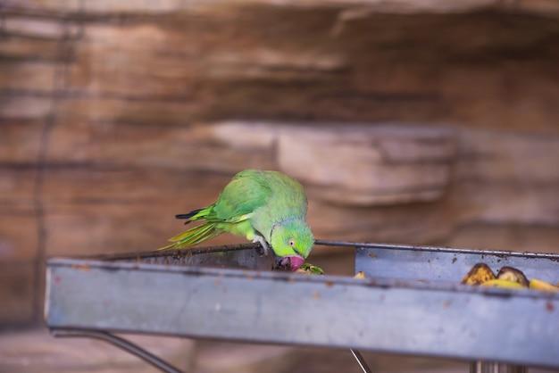Mała jasna papuga jedząca jedzenie?