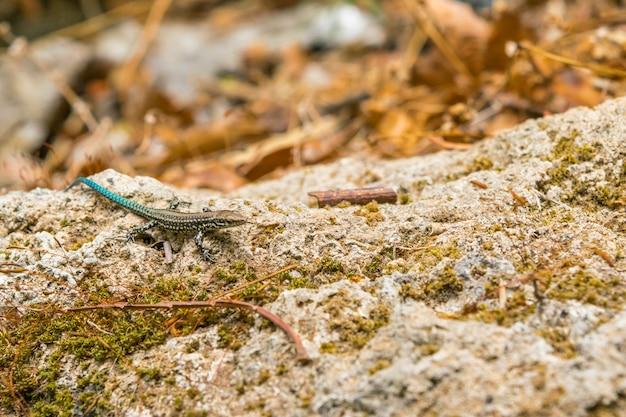 Mała jaszczurka w środowisku naturalnym