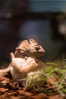 Mała jaszczurka w terrarium do wystroju domu