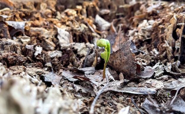 Mała kiełkująca roślina wiosną wśród starych liści w lesie.