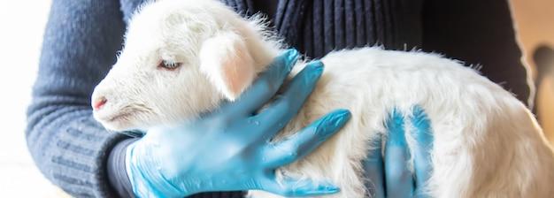 Mała koza w rękach lekarza weterynarii do karmienia.
