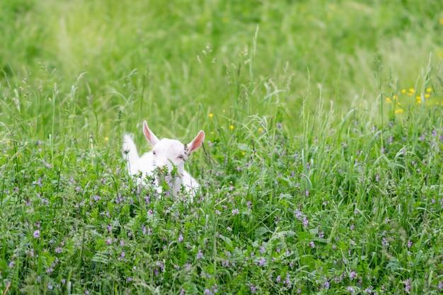 Mała kózka w polu na trawie. zdjęcie wysokiej jakości