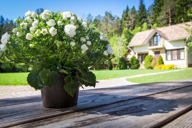 Mała kwiat kampanuli terry garnek na starym drewnianym stole w pogodnym ranku