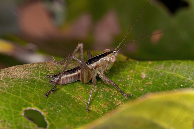 Mała łąka nimfa katydid z rodzaju conocephalus