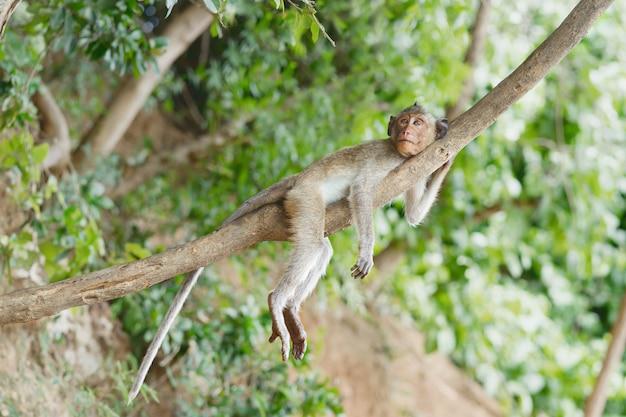 Mała małpa relaksuje na drzewie i kłaść odpoczynek.