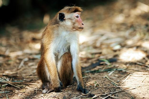 Mała małpa siedzi na piasku wygląda na odległość