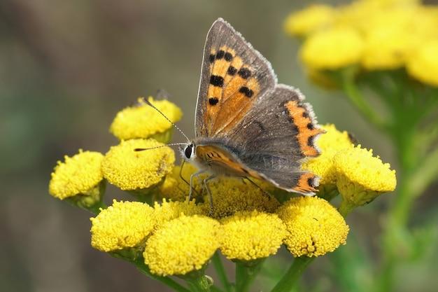 Mała miedź (lycaena phlaeas) jesienią popijając nektar na żółtych kwiatach tanacetum vulgare