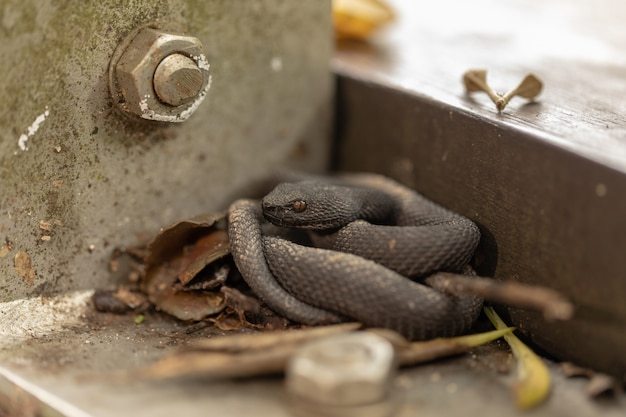 Mała namorzyna pit viper, trimeresurus purpureomaculatus, odpoczywa przy poręczy promenady.