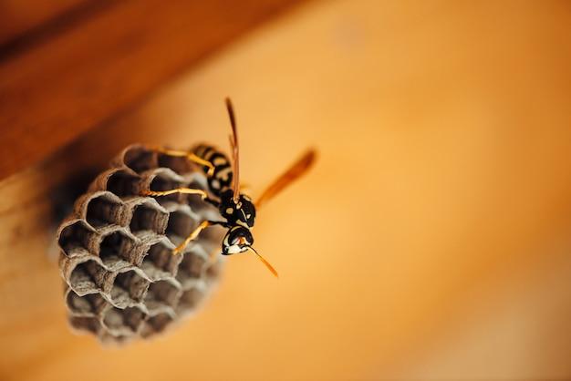 Mała osa chroni swoje plastry miodu w makrze