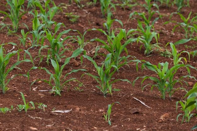 Mała plantacja kukurydzy