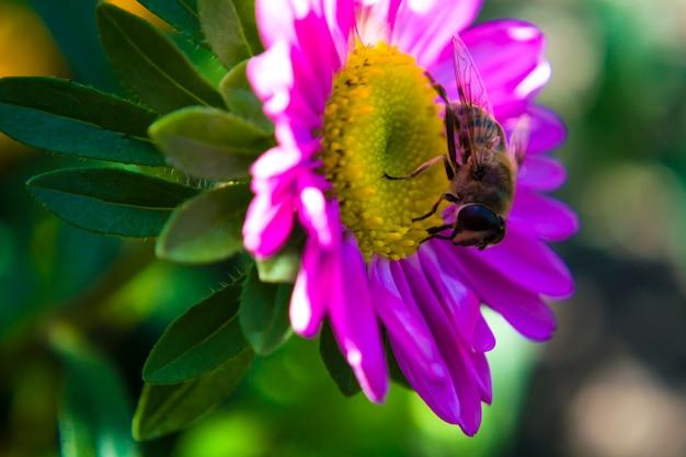 Mała pszczoła zbiera kwiaty zapylające nektaridealne do reklamy kosmetyków i różnych...