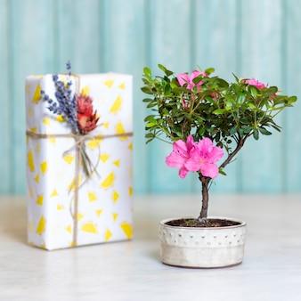 Mała roślina kwiatowa ficus bonsai żeń-szeń retusa w doniczce