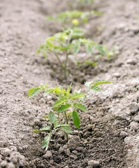 Mała roślina pomidorowa
