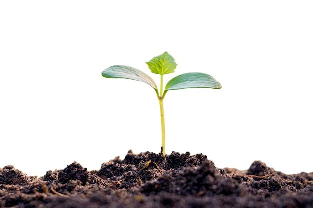 Mała roślina wyrastająca z gleby na białym tle.