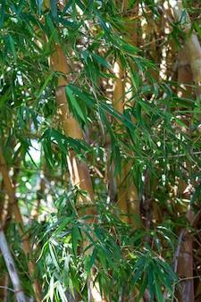 Mała roślina z pni bambusa ma wydatne gałęzie i liście trzciny. pień bambusa w formie wydrążonej trzciny. szczegóły drzewa bambusa japoński las bambusowy w słoneczny dzień jest rodzajem trawiastej rośliny.