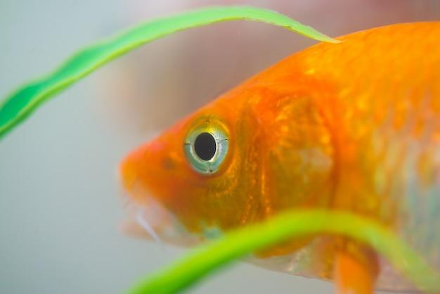 Mała ryba fantazyjny karp w akwarium lub akwarium
