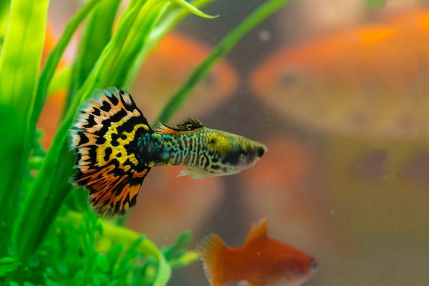Mała ryba w akwarium lub akwarium