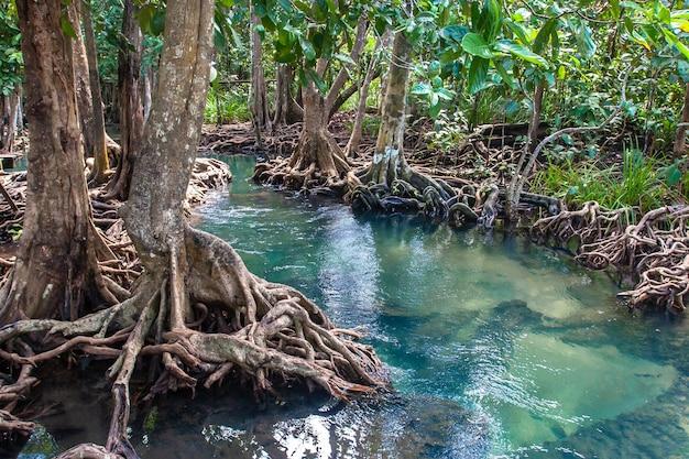Mała rzeka z czystą wodą przepływa przez las namorzynowy z grubymi drzewami o poskręcanych korzeniach