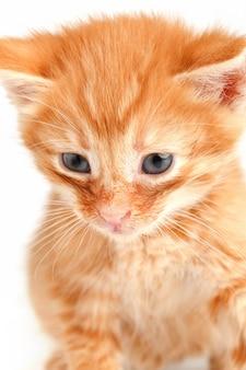 Mała śliczna czerwona figlarka z niebieskimi oczami