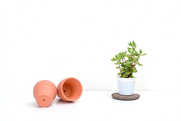 Mała soczysta roślina z doniczkami terakoty na białym tle, kryty.