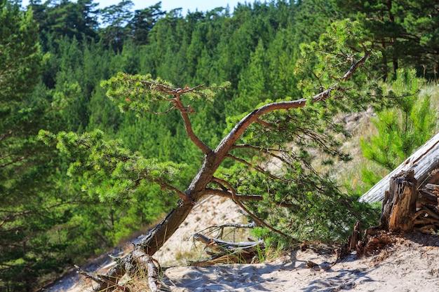 Mała sosna rośnie w piasku na górze